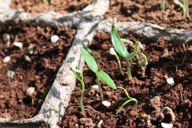 Vier Chilipflanzensetzlinge, die gerade erst keimen und noch ihre Saathülle an den Blattspitzchen hängen haben.