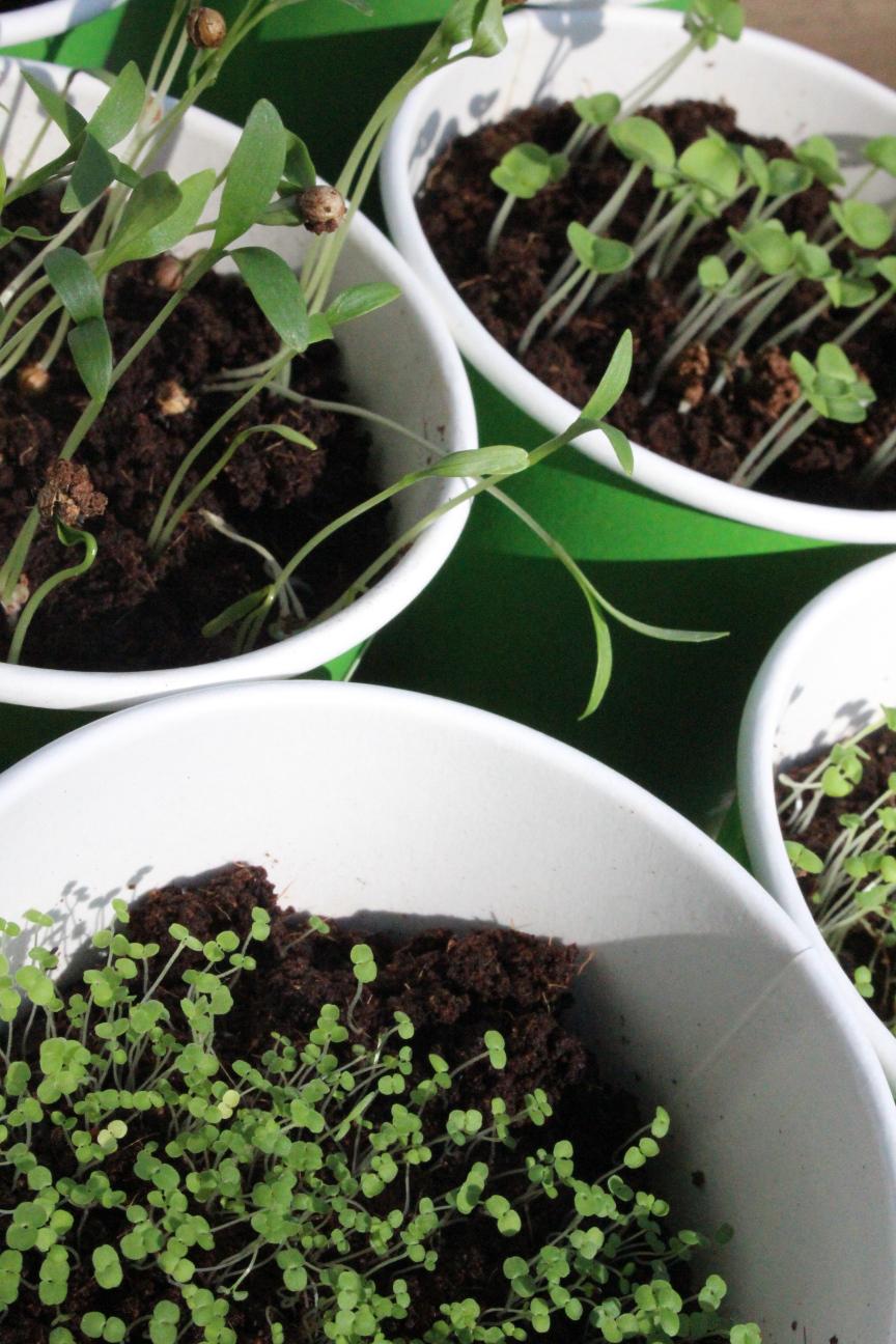 Ausschnitt von vier eng aneinanderstehenden grüne Pappbechern mit unterschiedlichen  Keimlingen drin.
