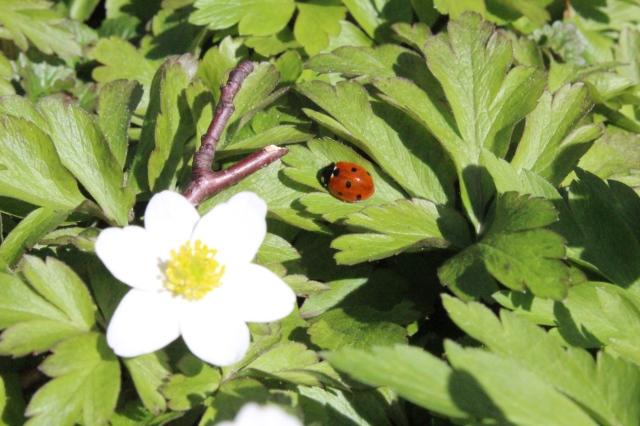 Blätter und eine Weiße Blüte am Waldboden. Auf einem grünen Blatt sitzt ein Marienkäfer.
