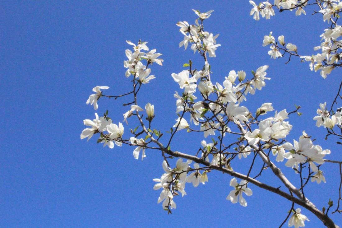 Weiße Blüten an einem Ast vor abgefahren blauklarem Himmel.
