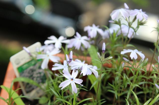 Lila Blumen, deren Namen mir gerade nicht einfällt. Das Lila ist sehr fein, fast weiß, die Blüten sind fünfsterning.