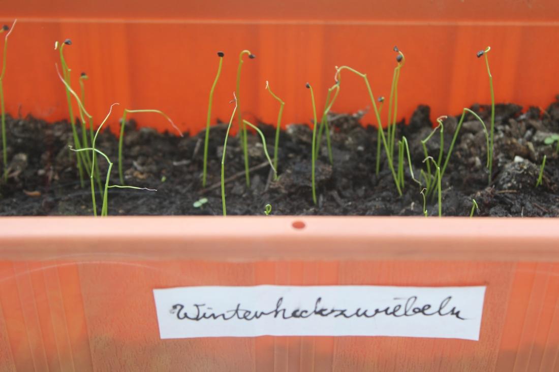 """Winterheckzwiebelkeimlinge in einem Blumenkasten auf dem ein Aufkleber mit dem Wort """"Winterheckzwiebeln"""" klebt."""