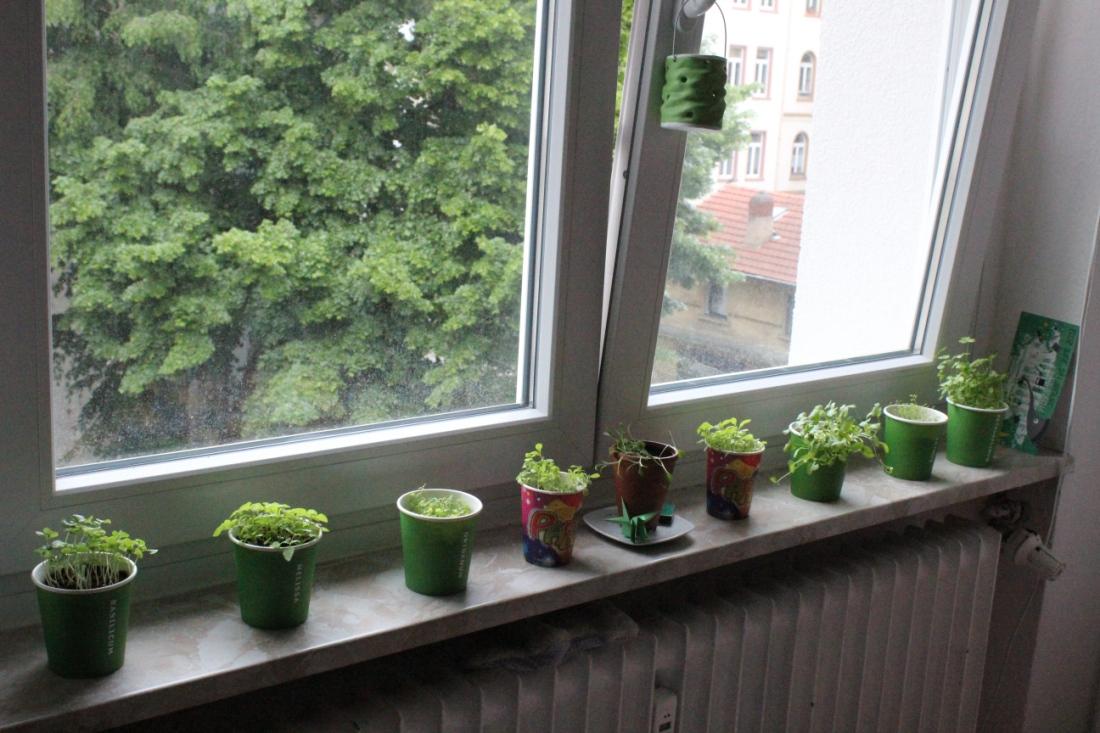Fensterbank vor gekipptem Fenster, auf der Fensterbank sechs grüne Becher mit noch wachsenden Kräutern, ein Töpfchen und zwei bunter Becher mit Keimlingen, die ich nicht identifizieren kann. Unter der Fensterbank eine Heizung, am Griff des gekippten Fensters ein hellgrünes Windlicht aus Steingut.