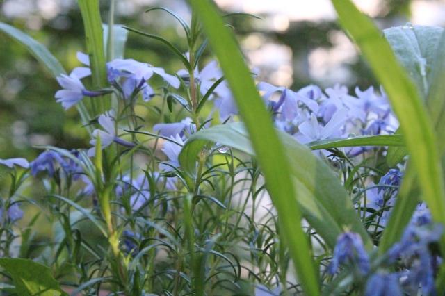 Lavendelfarbene Blüten in verschwommenem Grün im Abendlicht. In der Bildmitte ein Tropfen Wasser an einm Blatt, scharf.