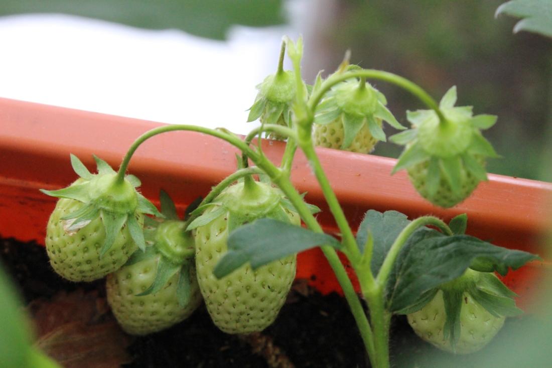 Sieben große, noch grüne, Erdbeeren.