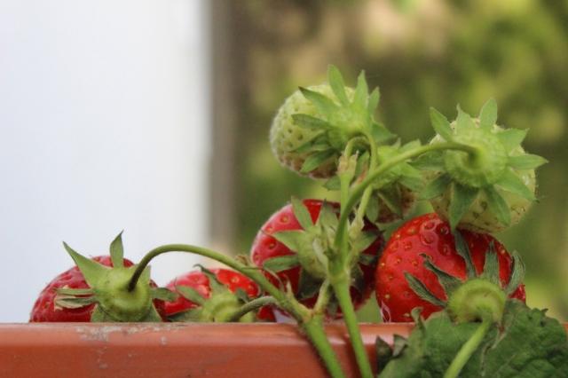 Sechs Erdbeeren, die über den Balkonkasten hängen, zwei davon noch grün, der Rest fast reif.