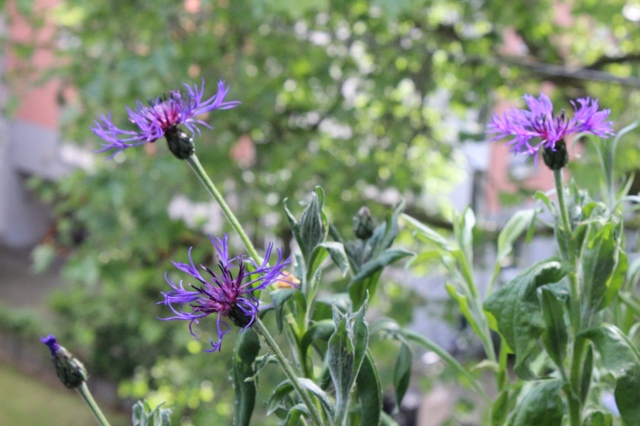Distelähnliche Blütenköpfe, lila, drei davon blühen. Im Hintergund eine verschwommene Baumkrone.