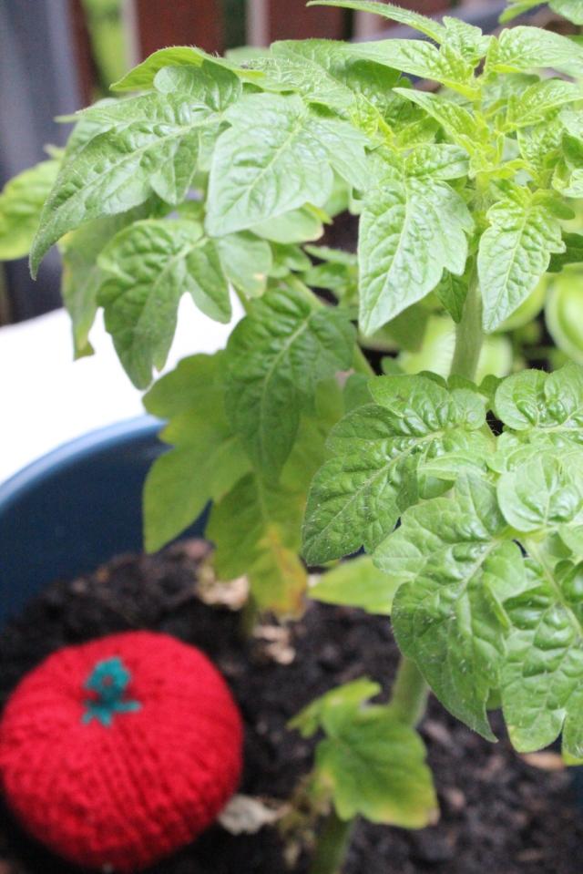 Junge Tomatenpflanze, im Hintergrund am Topfgrund eine selbstgestrickte Baumwolltomate.