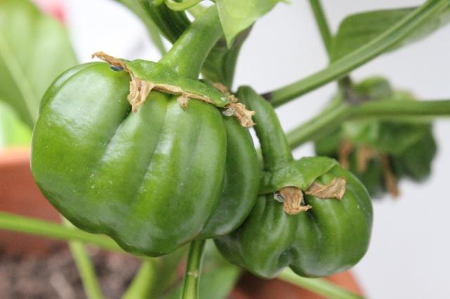 Grüne Paprikafrüchte, die noch ein ganzes Stück wachsen und reifen müssen.