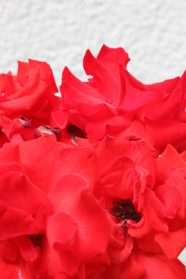 Halb verblühte rote Rosen in Nahansicht, sehen so fast aus wie Mohn.