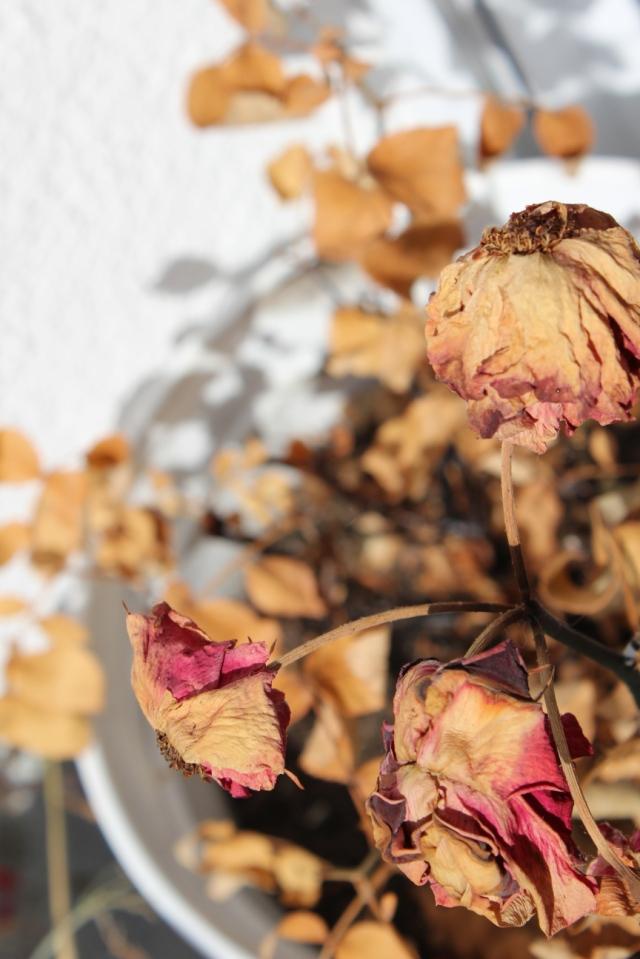 komplett bröseilg vertrocknete Rosen im Topf