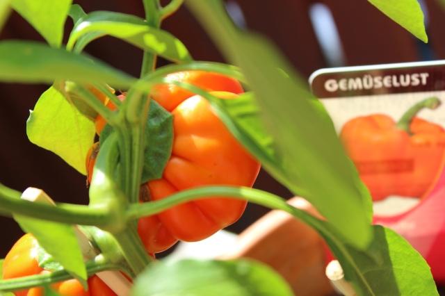 saftige kleine Paprikapflanze im Topf