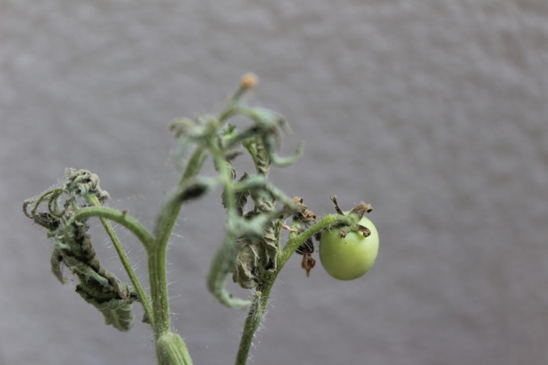 Minikleine grüne Tomate an angetrocknetem Strauch.
