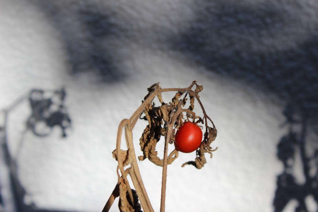 traurige, einzig gereifte Tomate, Cocktailklein, obwohl es keine Cocktailtomate ist, so rot wie reif, an einem krass vertrockneten Strang. Im Hintergrund Schatten der vertrockneten Zweige. Lecker war die kleine Tomate übrigens nicht.